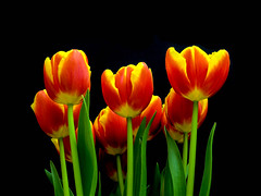 Tulips too. (Free the Image) Tags: flowers plants tulips artistic hdr catchycolorsred vividstriking
