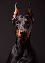 Una (Micko1986) Tags: portrait dog canon studio doberman strobe dogphotography 6d pincher dobermann canon6d