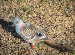 Crested Pigeon (Ocyphaps lophotes) (peter.carlsen) Tags: birds wildlife doves australianbirds petercarlsen nikond7100 tamron150300mm