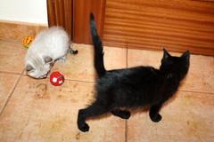 Gata Pucca (10) (adopcionesfelinasvalencia) Tags: gata pucca