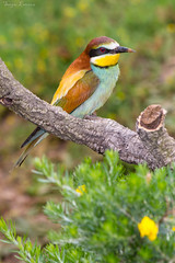Observado (sergio estevez) Tags: naturaleza fauna aves colores pajaros abejaruco posadero sergioestevez