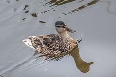 Zaanse Schans Mallard Duck (mahesh.kondwilkar) Tags: netherlands amsterdam avalon dutchvillage zaanseschaans romanticrhine avalonwza avalonwzaday7