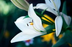 Details on details (Pensive glance) Tags: plant flower nature fleur plante lily fleurdelys lys lilium
