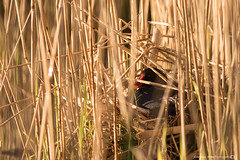 (jonathan_ed1984) Tags: sun sunlight lake bird water rain birds hail canon spring swan waterfoul nest wildlife lancashire swans leigh muteswan brittish moorhen 7dmkii brittishwildlife