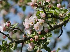 Apfelblte - apple blossom (hans_de_kn) Tags: apple germany deutschland apfel obstbaum apfelblte sddeutschland boskoop alteobstbaumsorte oldkindofappletree