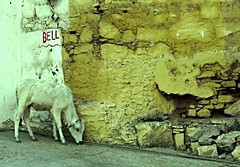 bundi 2015 (gerben more) Tags: india animal wall cow bell rajasthan bundi