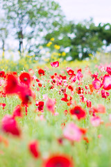 (.) Tags: flower nature rain japan spring poppy    earlysummer