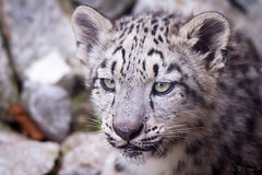 Head from a snow leopard cub (Cloudtail the Snow Leopard) Tags: snow animal cat mammal zoo cub big kitten feline jung young leopard katze karlsruhe tier gros panthera raub schneeleopard sugetier irbis uncia