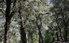 Font Roja. Parc Natural (Jeroni Valor) Tags: tree nature landscape oak holm fujifilmxq2
