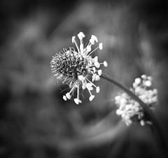 Ribwort plantain (Plantago lanceolata) (judy dean) Tags: wildflower plantain ribwort 2016 judydean sonya6000 plantarlanceolata