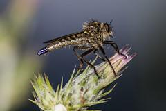 IMG_6296 (petrosli) Tags: macro nature closeup canon eos eos500d