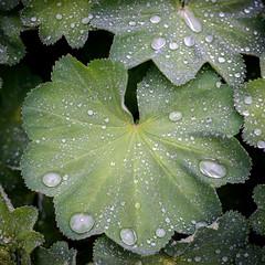 Frauenmantel im Regen (alopecosa) Tags: wasser freiburg frauenmantel regentropfen