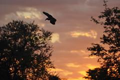 Hamerkop chased away... (PimGMX) Tags: sky bird silhouette clouds zonsondergang wolken lucht nuages oiseau vogel silhouet hammerhead scopusumbretta hamerkop pták hammerkop hammerkopf voël anvilhead hammerheadstork umbrette umberbird tuftedumber