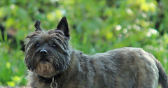 Sedum - 5/23/16 (myvreni) Tags: pets dogs nature animals spring vermont cairnterriers