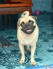 wistful dog (the foreign photographer - ) Tags: dog thailand nikon looking bangkok pug doorway lard bang wistful bua khlong bangkhen d3200 phrao apr232016nikon