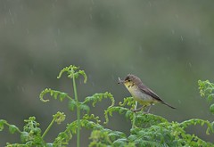 L'hypolais ravitaille sous la pluie. (MICHELGAILLARD) Tags: