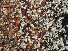 MN, May 2016 (Bro H.) Tags: flowers minnesota spring blossoms minneapolis mn 2016 blacklocust