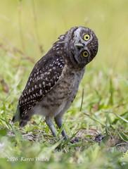 Burrowing Owlet (kwilles) Tags: burrowingowl westridge