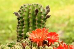 Echinopsis chamaecereus (Jelena1) Tags: summer cactus naturaleza plant flower nature fleur canon plante flora sommer serbia natur flor verano bloom blomma cactaceae t blte cactes succulents cactos sommar leto suculenta kaktus srbija cactusflower vxt echinopsis sukkulente suckulent biljka cvet echinopsischamaecereus sukulent kakteengewchse chamaecereussilvestrii canonefs1855mmf3556is plantesucculente canon600d kaktusvxter canoneos600d lobiviasilvestrii krypkaktus cvetkaktusa