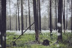 IMG_8282 (L) Tags: flowers trees canon forrest deadtrees forrestfire burnedtrees vsterfrnebo 7020028lisii eos5dmkiii hlleskogsbrnnan