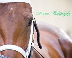 Antebellum (EASY GOER) Tags: park horse sports canon track belmont racing 5d races equine thoroughbreds belmontpark markiii 5dmarkiii