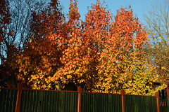 Riot of Colour (PhotosbyDi) Tags: autumn trees leaves fence colours foliage goldenlight hff nikond600 happyfencefriday manchurianpeartrees nikonf282470mmlens