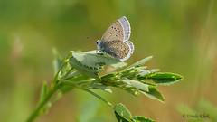 Bluling (Lycaenidae) /  butterfly (ursula.kluck) Tags: butterfly wiese panasonic falter ostsee nahaufnahme zingst deich bluling fluginsekt lumixgx80