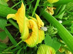 Flor del calabacn (kirru11) Tags: espaa macro planta hojas campo quel bicho verdes larioja canonpwershot kirru11 anaechebarria flordelcalabacn