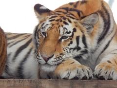 In heaven (Sharon B Mott) Tags: nature animal june cat stripes tiger bigcat amurtiger yorkshirewildlifepark