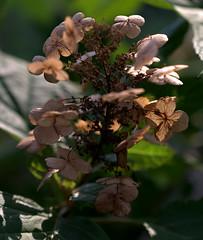 IMG_0135.CR2 (jalexartis) Tags: flowers summer flower blossom bloom hydrangea shrub shrubbery driedflowers oakleafhydrangea driedblossoms driedblooms