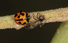 Ants and ladybirds (Jenny Thynne) Tags: ant beetle australia brisbane queensland ladybird coleoptera coccinellidae formicidae coelophorainaequalis variableladybirdbeetle apolinuslividigaster yellowshoulderedladybird