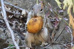Yosemite, CA (lotos_leo) Tags: california ca nature animal nationalpark squirrel outdoor yosemite