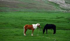 Horses (MelindaChan ^..^) Tags: china horse river chinese mel prairie  melinda grassland rider xingjiang sheperd  kaidu melindachan chanmelmel