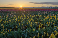 (wenzday01) Tags: travel oregon or willamettevalley woodburn woodenshoe woodenshoetulipfarm tulipfarm tulipfestival tulips flowers nature morning light sunrise nikon d7000 nikond7000 sigma 50mmf14exdghsm