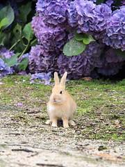 B6250581 (VANILLASKY0607) Tags: rabbit bunny bunnies nature animal japan photo wildlife wildanimal hydrangea rabbits rabbitisland wildrabbit okunoshima