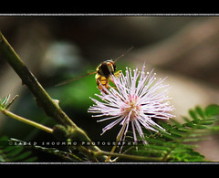 (bee and Touch me not) (Shoummo ()) Tags: macro bangladesh macrophotography  srimongol  lawachora  saeedshoummo   shoummo