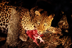 A Leopard with a fresh kill 1 (TheGrantPeters) Tags: africa park kill south hunting national leopard sabi sands impala kruger