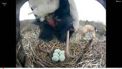 Great Blue Heron brood patch (Laura Erickson) Tags: birds nest species ithaca greatblueheron ardeidae ardeaherodias pelecaniformes cornelllabofornithology nestcam clonest