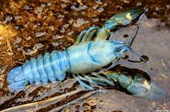 El cangrejo azul (Ferny Carreras) Tags: blue water animals rio azul fauna river agua crab lobster animales cangrejo oltusfotos mygearandme