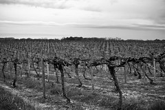 vineyard parallels (aimeeern) Tags: canon rebel vineyard parallel odc xti canonef24mm ourdailychallenge