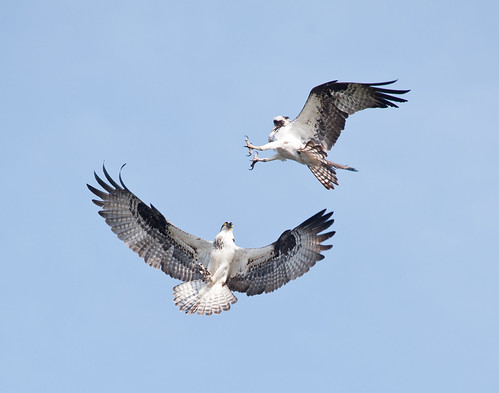 Ospreys, by Reed A. George