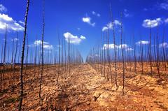 ' ' ' Sticks ' ' ' (Andy Brandl (PhotonMix.com)) Tags: nature lines horizontal clouds germany landscape sticks nikon reaching earth dry bluesky soil drought symmetrical asymmetrical badenwrttemberg bestcapturesaoi elitegalleryaoi photonmix