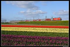 HSA-186113+960_Hsghtn_15042012 (Dennis Koster) Tags: amsterdam ns portfolio breda hyacinten bloemen bollen tulpen bollenveld hogesnelheidslijn hogesnelheidstrein bloembollen hsa nshispeed weteringbrug br186 186113 960asdbd railfoto2012 treineninbeeld7