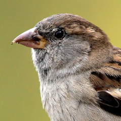 Mrs. Mus (Ger Bosma) Tags: bird dutch europe european thenetherlands sparrow mus extremecloseup housesparrow passerdomesticus gettyimages spatz huismus thegalaxy gorrincomn 7880 closeupdetail haussperling moineaudomestique extremedetail mygearandme mygearandmepremium mygearandmebronze mygearandmesilver mygearandmegold mygearandmeplatinum dblringexcellence flickrstruereflection2 flickrstruereflection3 img40621bfilteredtwice