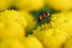 .. (Norbert Krlik) Tags: macro yellow fly canonef100mmf28macrousm canoneos40d