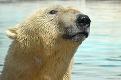 DSC_0081 (Noemi D.Soos) Tags: zoo nikon hungary feeding polarbear feed nyregyhza jorek sstzoo d3100