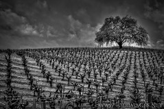 Seclusion (Explored) (Bowman66) Tags: california tree clouds spring oak nikon solitude hills winery vineyards rows grapes sonomacounty stakes glenellen valleyofthemoon rmbimages