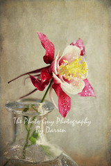 Graceful (The Photo-Guy Photography By Darren) Tags: pink red wild summer stilllife white plant painterly flower detail green texture nature wet water glass floral beautiful beauty vertical vintage studio effects japanese one spring bottle stem flora soft purple shot blossom head decorative object grunge small vivid pistil petal aquilegia single bloom vase romantic columbine aged delicate botany waterdrops ornamental isolated perennial elegance darrenfisher thephotoguyphotography