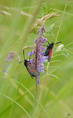 Odd one out (jump for joy2010) Tags: uk red england black fauna flora moth insects somerset seawall mauve wildflowers viciacracca burnhamonsea plantbug tuftedvetch fivespotburnet miridae grassverge zygaenatrifolii