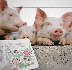 story time for piglets (manyfires) Tags: pink film childhood animal analog rural mediumformat square reading book pig farm iowa hasselblad pigs piglet livestock porcine piglets hasselblad500cm oldmacdonaldhadafarm eeieeio animalscape